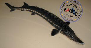 فروش ماهی اوزون برون در بازار