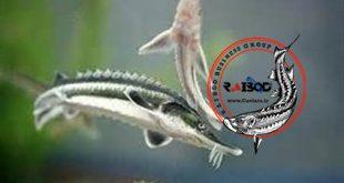 بچه ماهی اوزون برون و آسترا