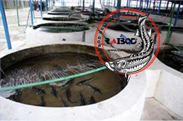 تولید و فروش ماهی اوزون برون