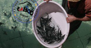 قیمت ماهی اوزون برون