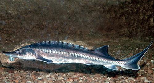 قیمت بچه ماهی اوزون برون