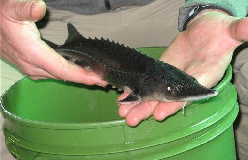 فروش بچه ماهی اوزون برون