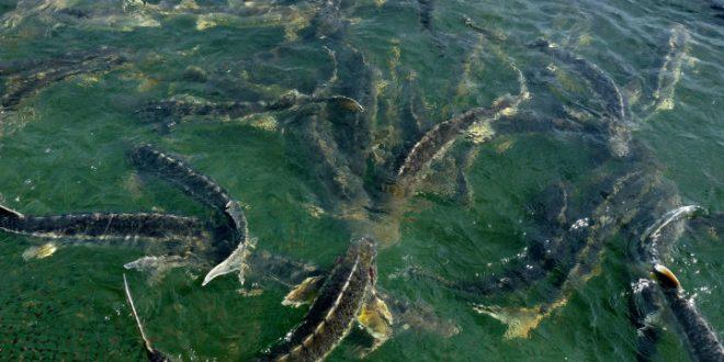 ماهی اوزون برون شمال