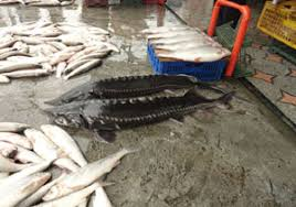 عرضه انواع ماهی اوزون برون درجه یک
