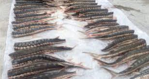 تعدادی از بازار ماهی فروشان ایران
