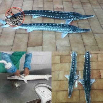 خرید ماهی پرورشی ازونبرون