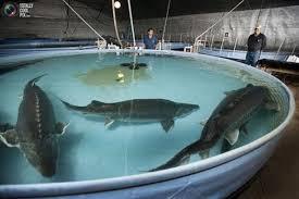 مکان های عرضه ماهی اوزون برون