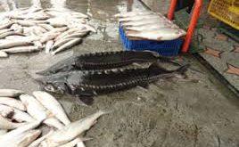 خرید و فروش ماهی اوزون برون خاویار