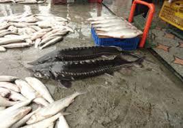 قیمت فروش ماهی اوزون برون در بازار ایران