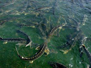 گوشت ماهی اوزون برون