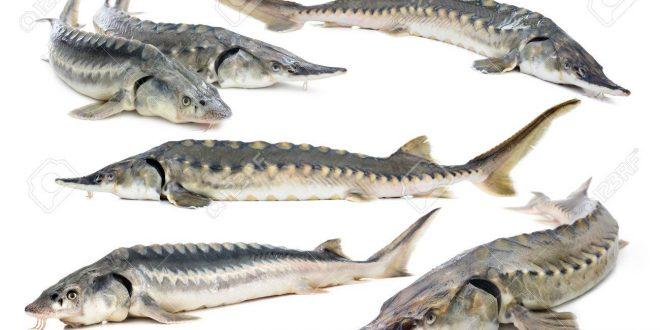 پرورش ماهی خاویاری اوزون برون و فیل ماهی در ایران