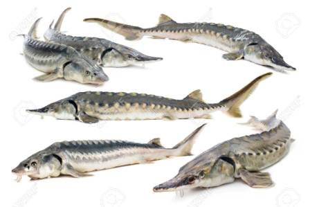 پرورش ماهی اوزون برون