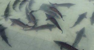 پرفروش ترین ماهی اوزون برون بسته بندی