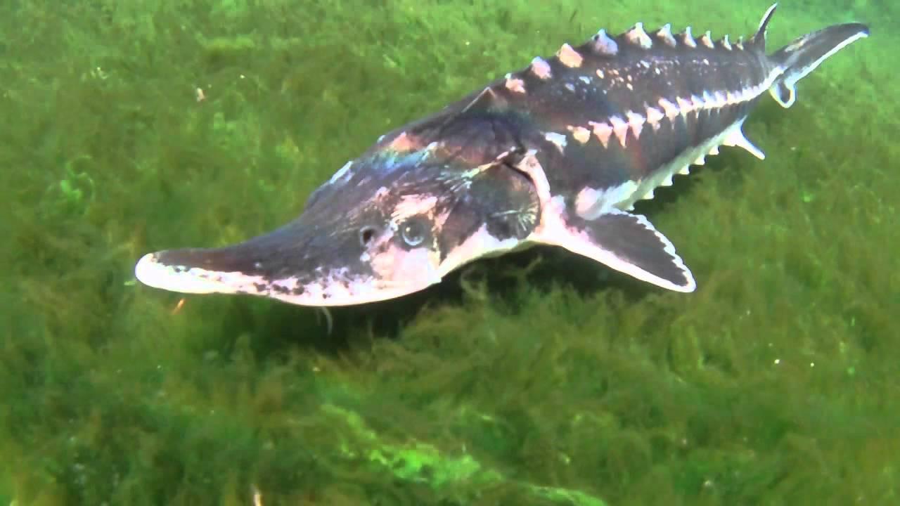 ماهی زنده اوزون برون