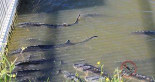 استان های تولید و پرورش دهنده ماهی اوزون برون
