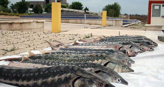 بازار فروش ماهی اوزون برون دریایی