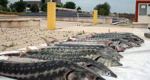 وزن ماهی های ازون برون پرورشی آستارا