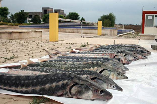 انواع گوشت ماهی خاویاری