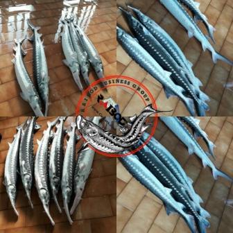 خرید قانونی ماهی اوزون برون پرورشی