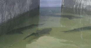 پرورش ماهی اوزون برون در قزوین