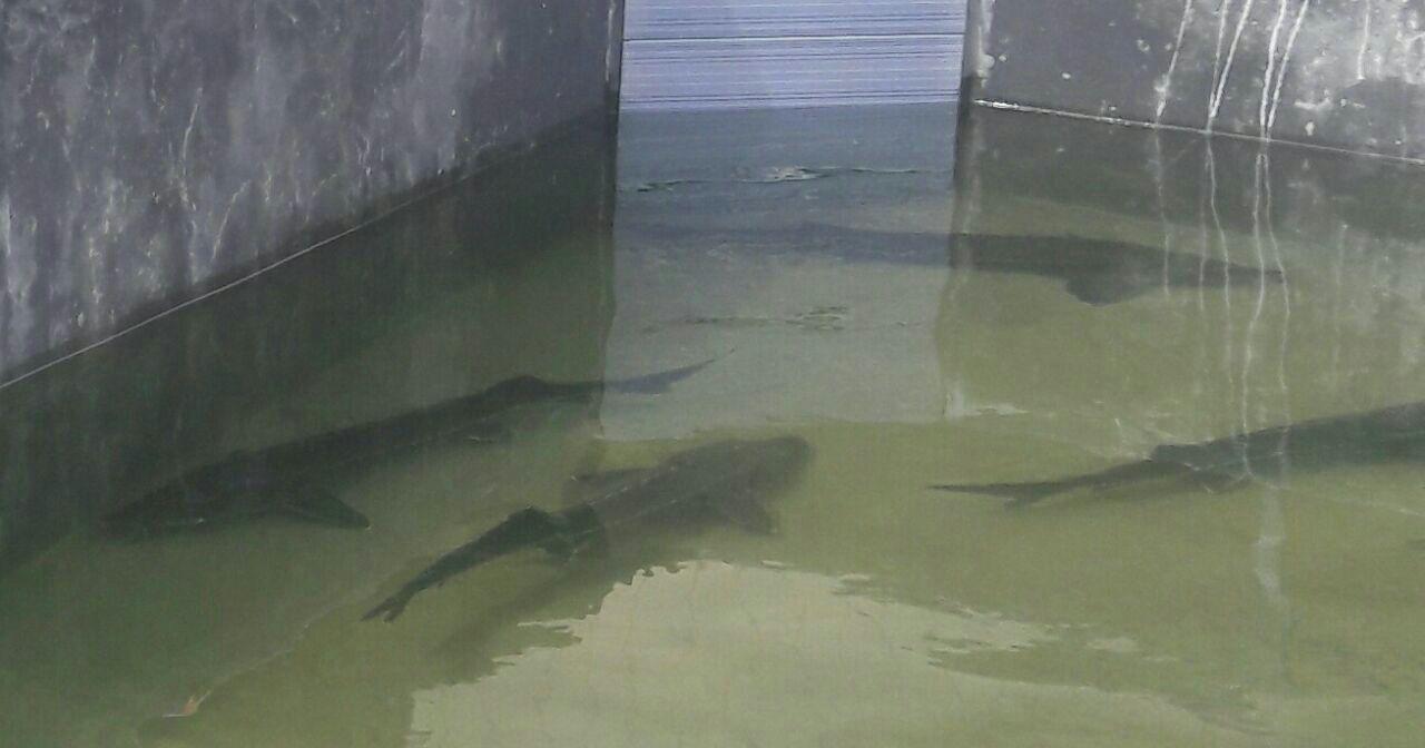پرورش ماهی اوزون برون در گیلان