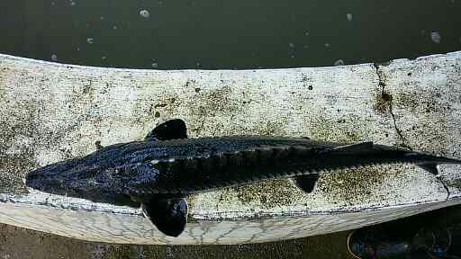 قیمت ماهی اوزون برون در سال 97