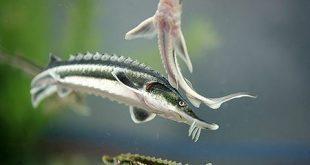 توزیع بچه ماهی خاویاری از نوع سیبری