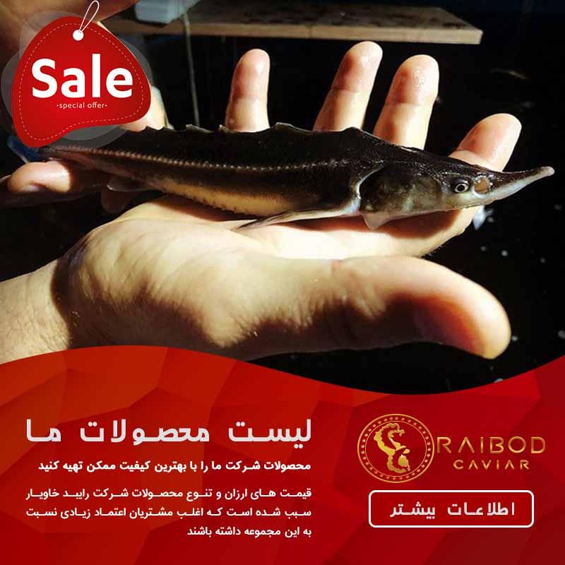 قیمت خرید ماهی سیبری به صورت عمده