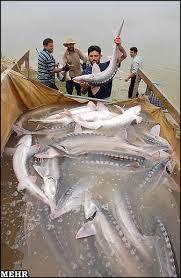 بازار ماهی خاویار