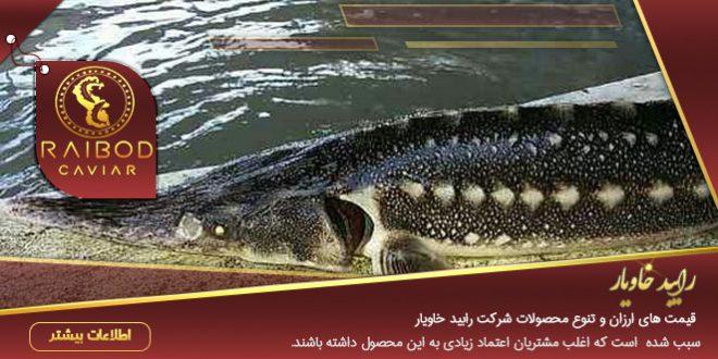 فروش ماهی اوزون برون در تهران
