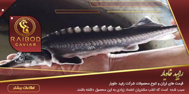 ماهی خاویار دریای خزر
