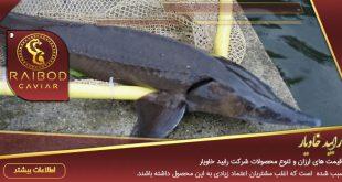 فروشنده ماهی خاویار جنوب